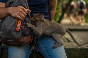 Los monos en algunas zonas de India y otros países atacan a los turistas en busca de comida