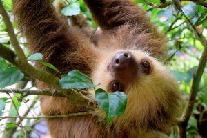 Oso perezoso en Costa Rica.
